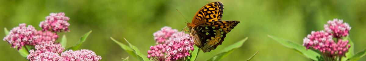 carlisle_summer_nh_butterfly_1200x200