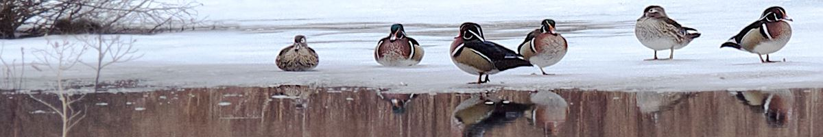 carlisle_winter_nh_ducks_1200x200